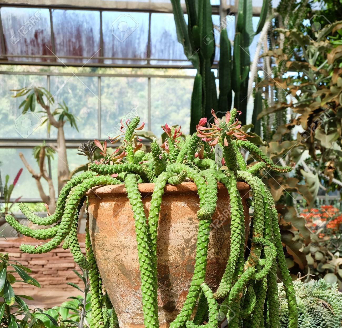 Cactus In A Cactus Garden Medusa Cactus Stock Photo Picture And