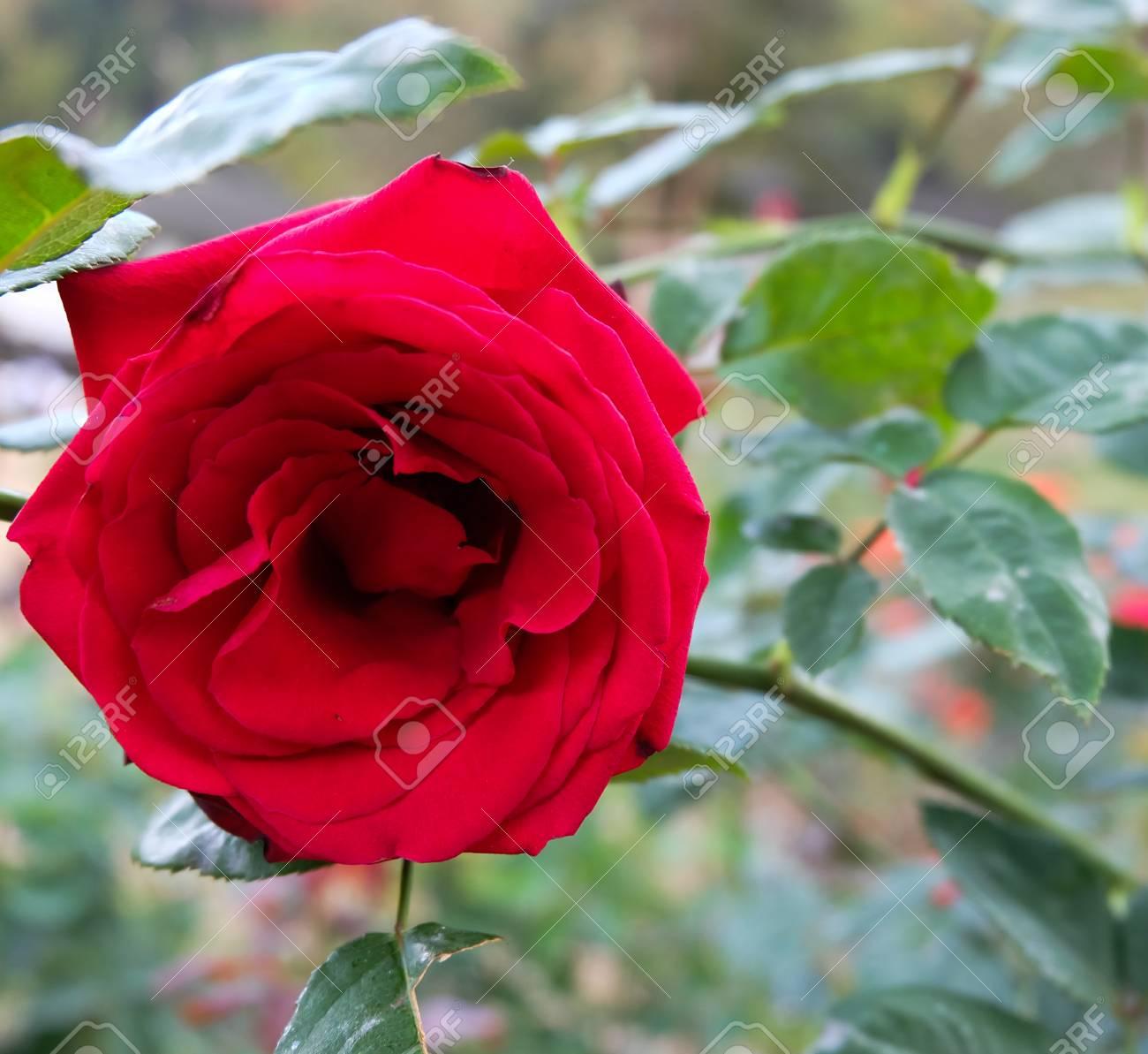 Rosas Rojas Hermosas En Jardín De Rosas Fotos Retratos Imágenes Y