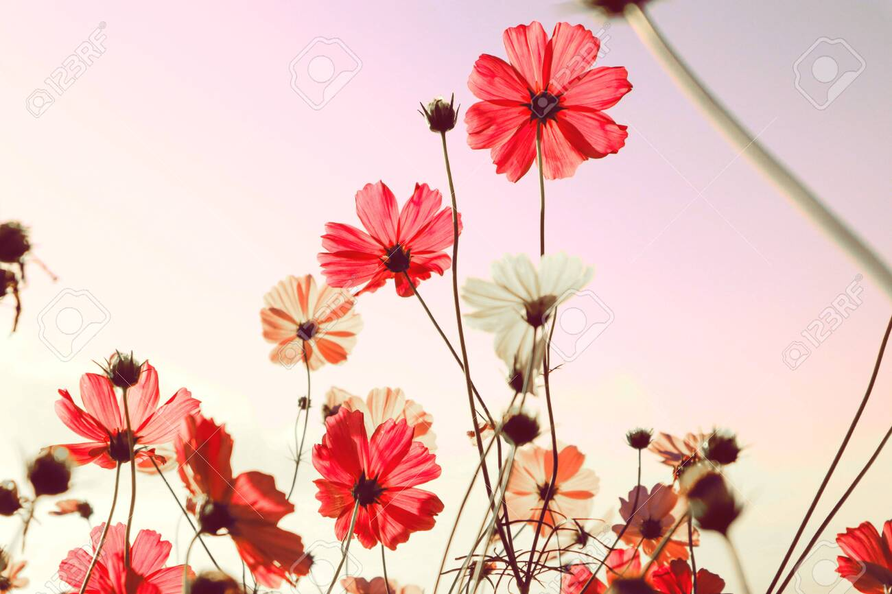Mountain landscape with pink Cosmos flowers in blooming with sunset background. - 121327592