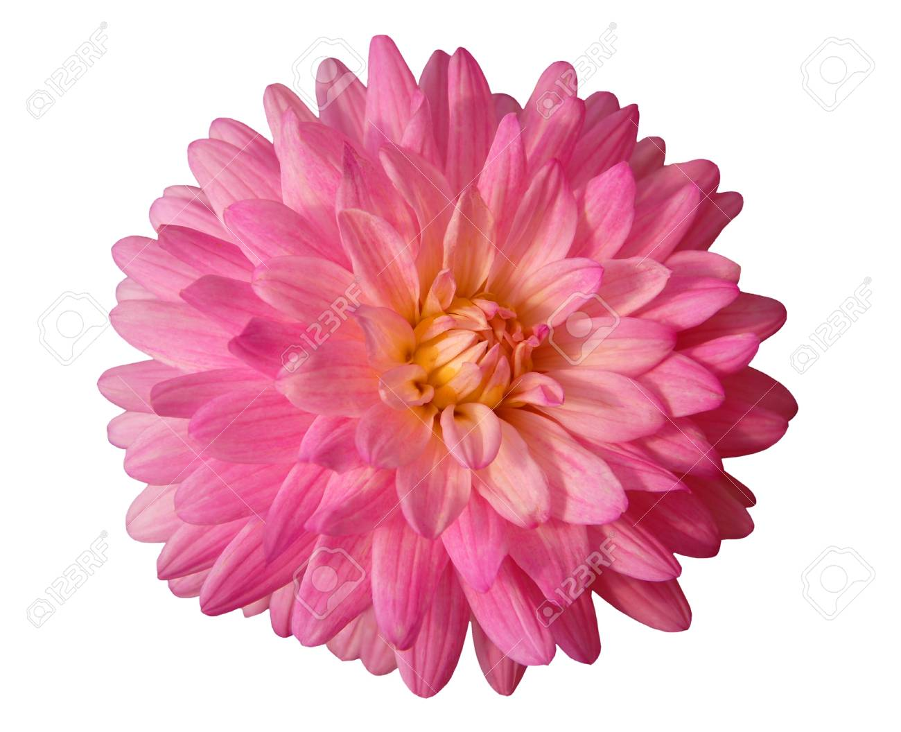 Pink dahlia flower isolated on white background stock photo picture pink dahlia flower isolated on white background stock photo 61228669 izmirmasajfo