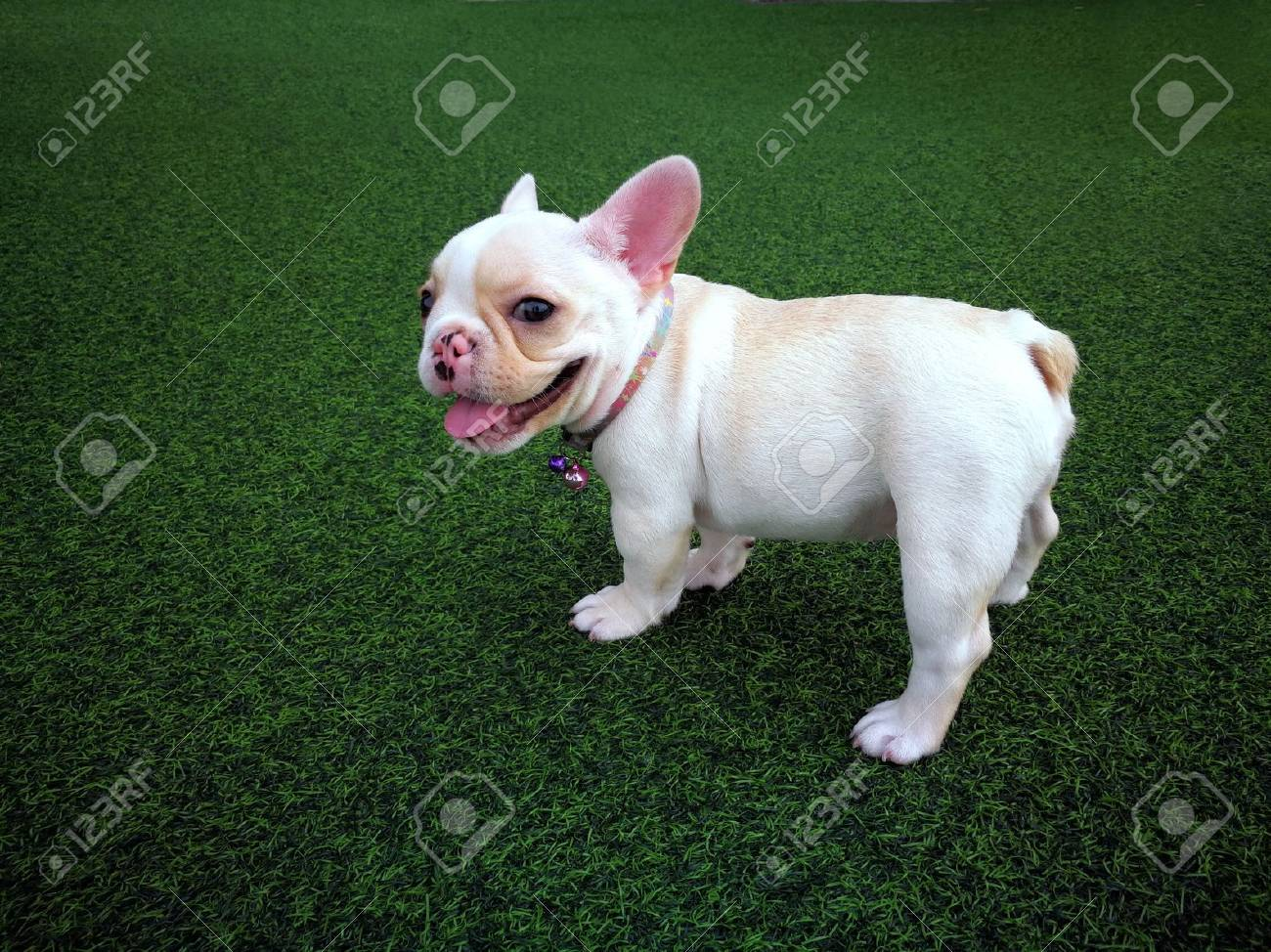 White brown french bulldog puppy standing on green artificial grass - 76573048