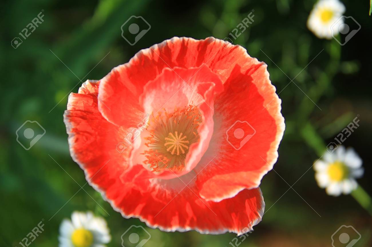 Close Up Top View Of Red Opium Poppy Flower Stock Photo Picture And