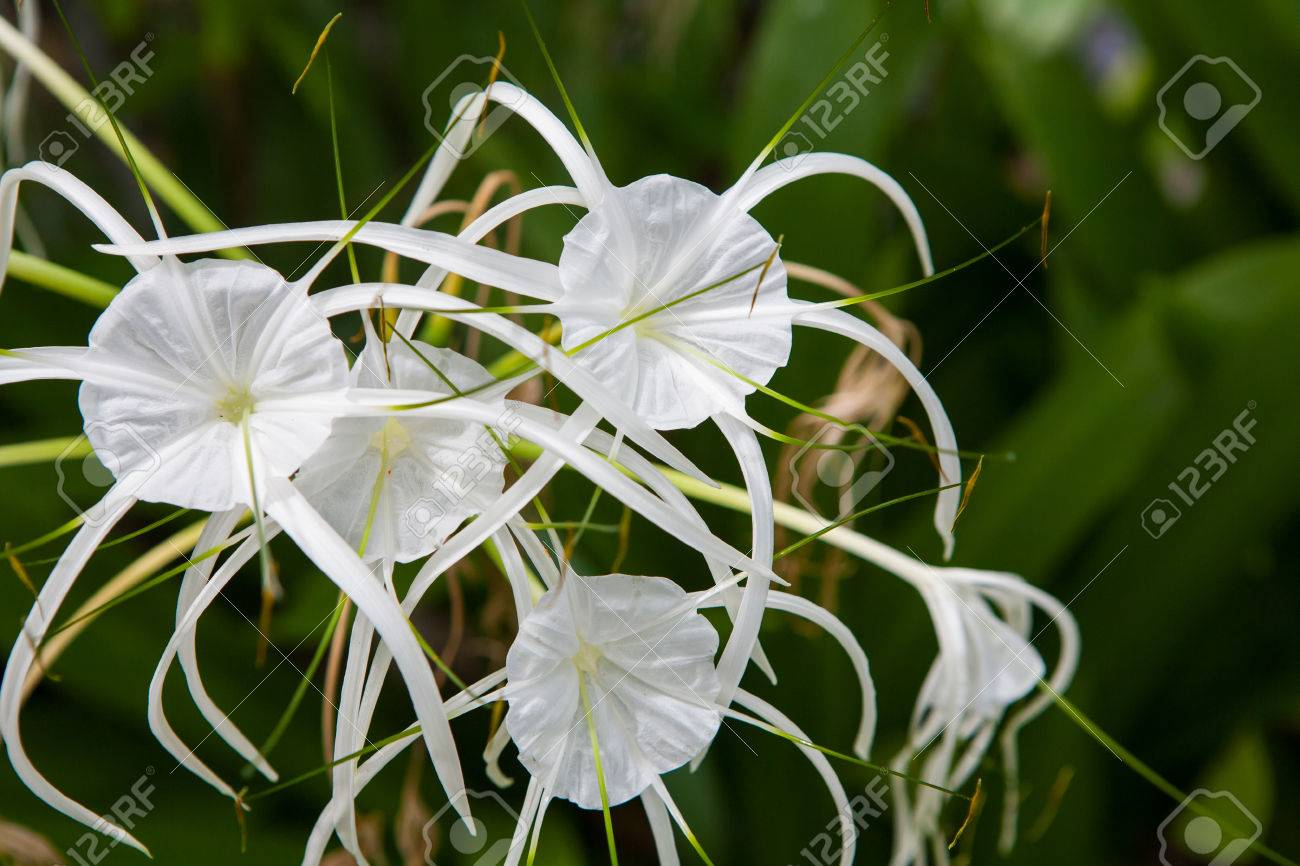 White lily flowers in a garden spider lily stock photo picture stock photo white lily flowers in a garden spider lily izmirmasajfo