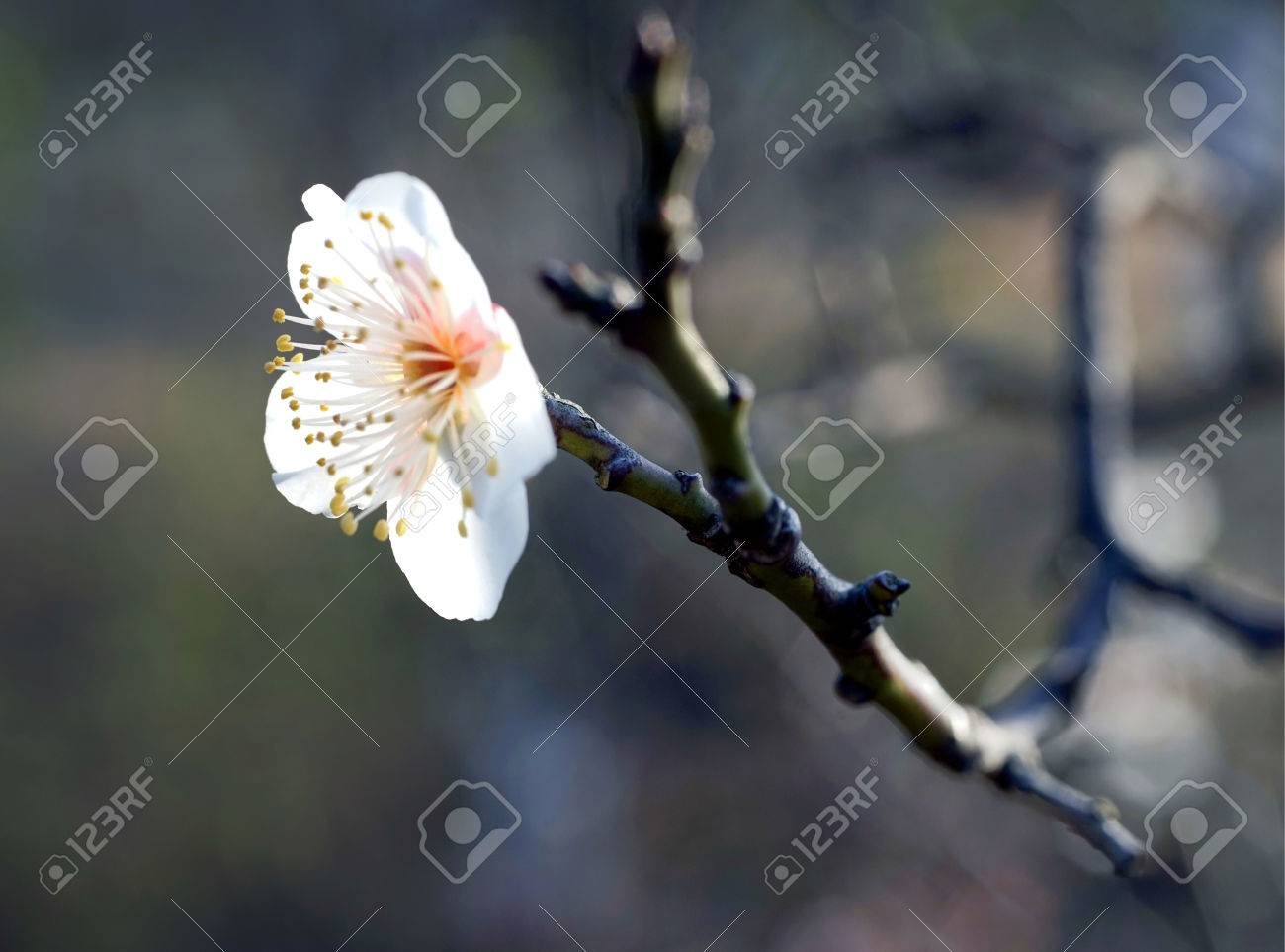 White plum blossom stock photo picture and royalty free image stock photo white plum blossom mightylinksfo