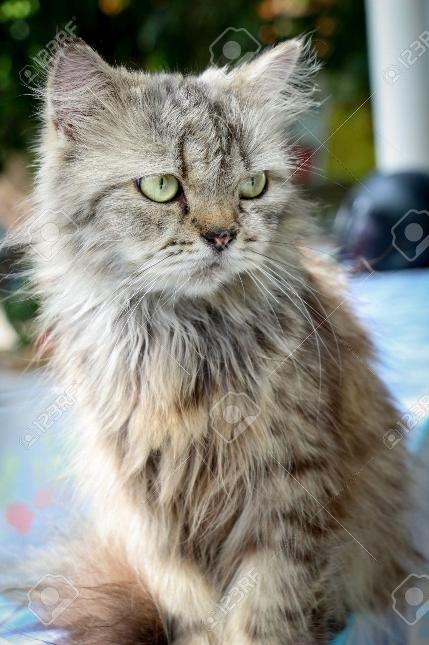 Cute Grey Persian Cat Angry Face Stock Picture And