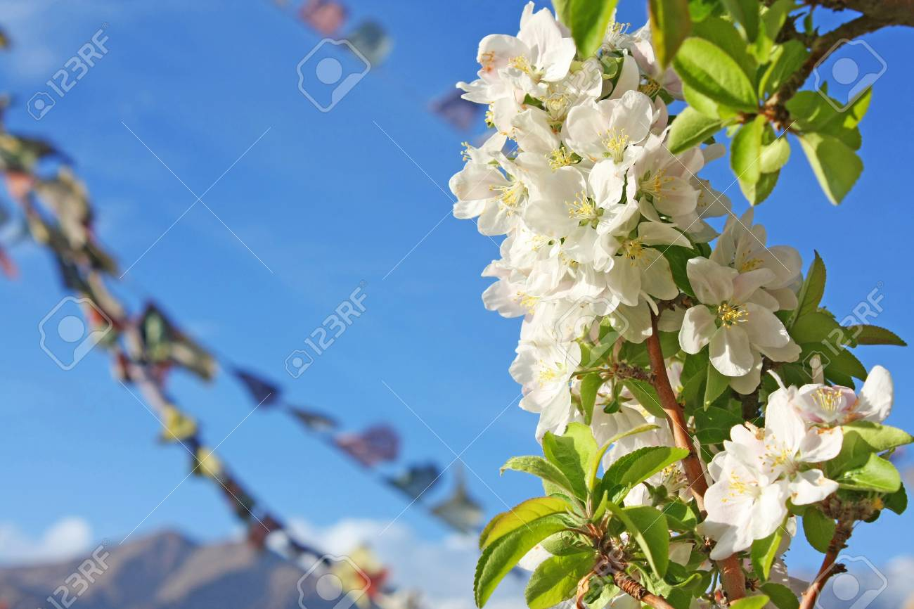 Beautiful Flowering Apple Trees Background With Blooming White Flowers In Spring Day Blue