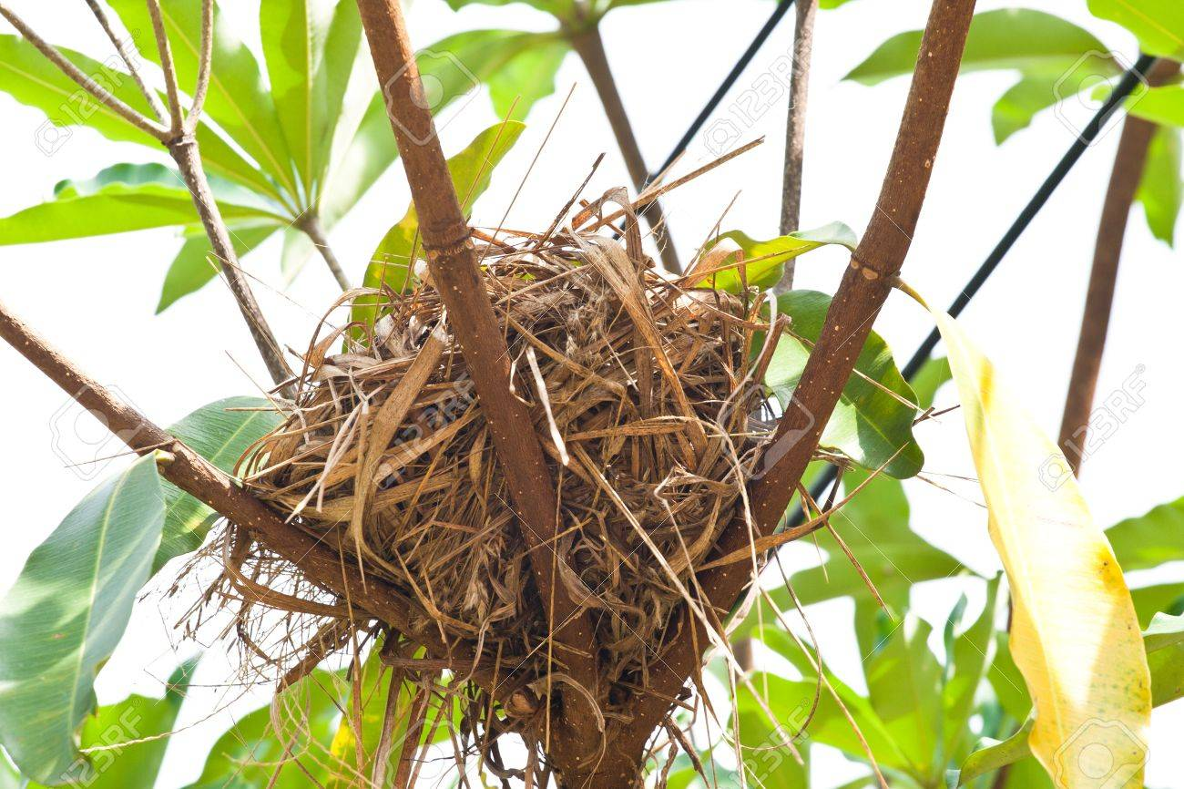 Dry grass birdnest on tree Stock Photo - 17187936