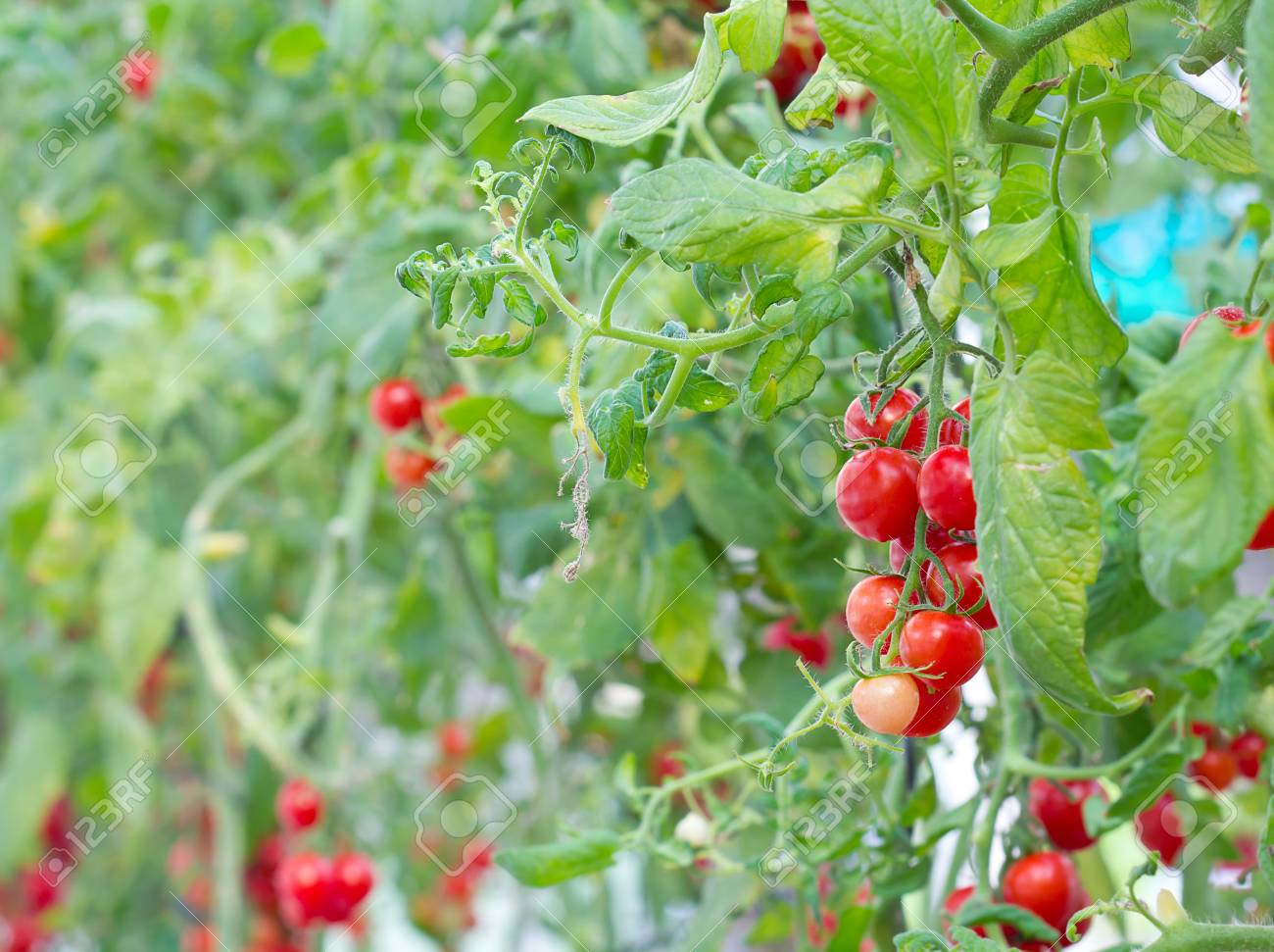 colorful red tomato on tree in farm Stock Photo - 12909096