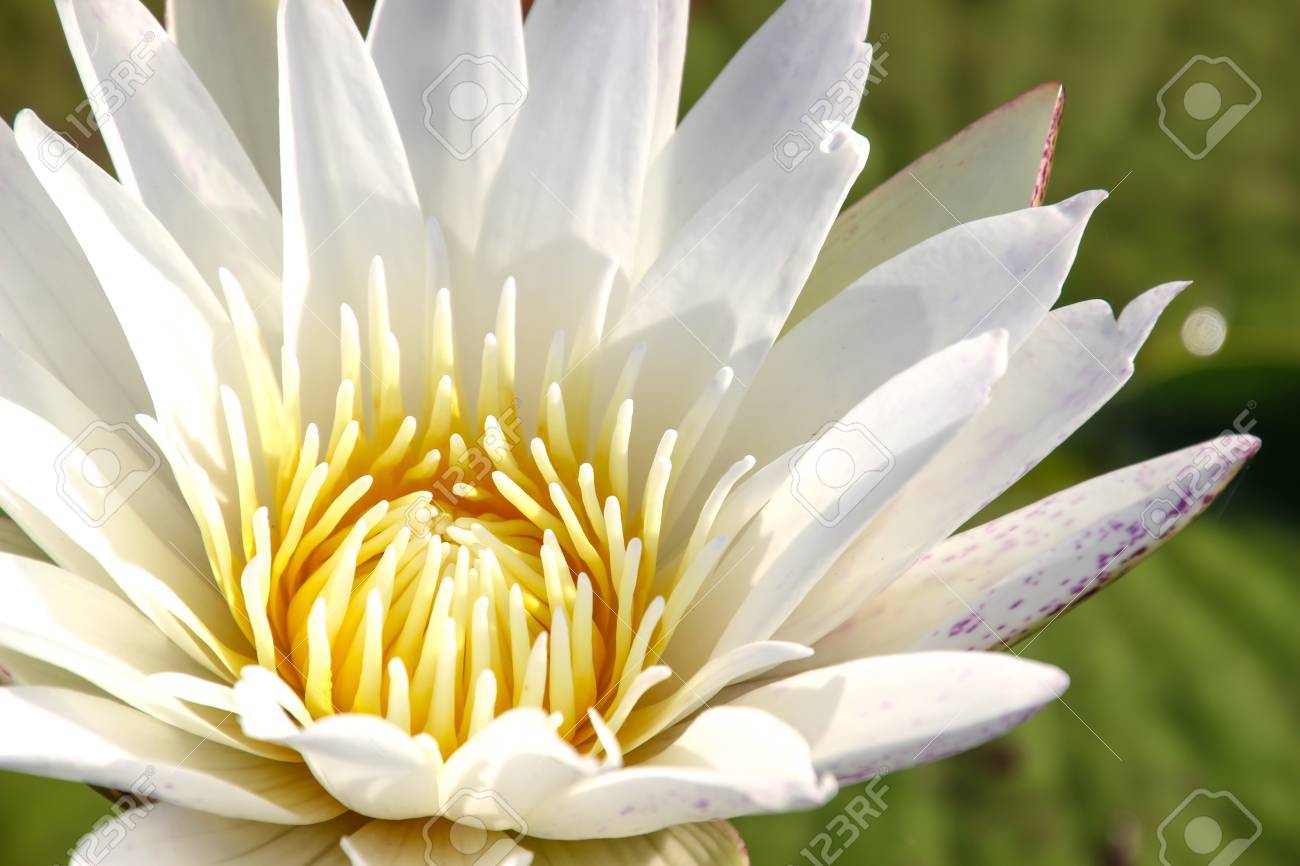 White Lotus Concept Wars Design Web Wallpaper Background Stock