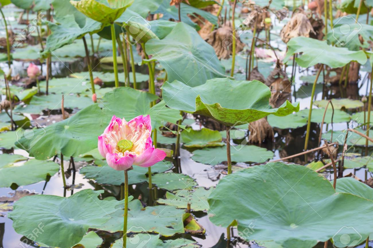 Blooming Pink Lotus Flower And Its Seed Pod Stock Photo Picture And