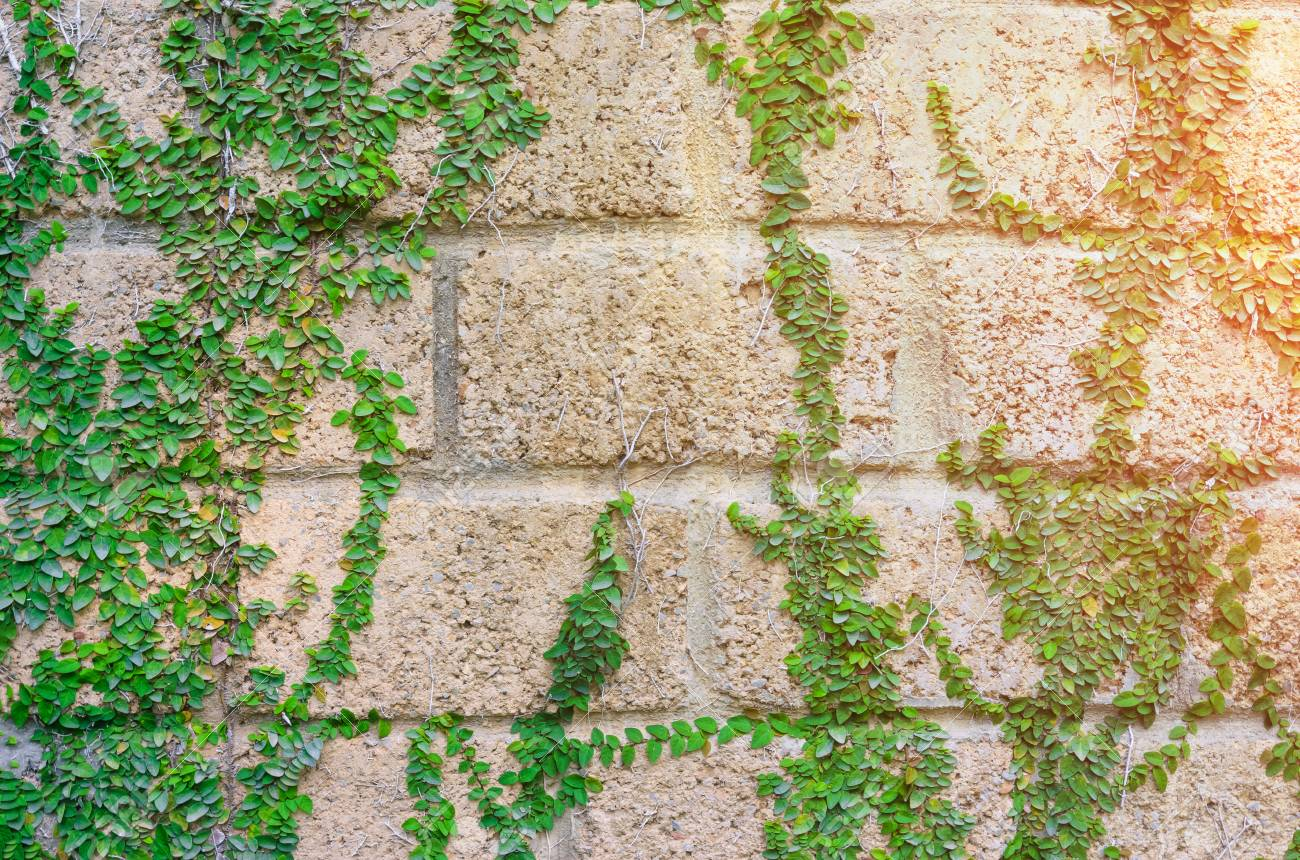 Ivy And Wall With Morning Sunlight,Abstract Background Stock Photo ...