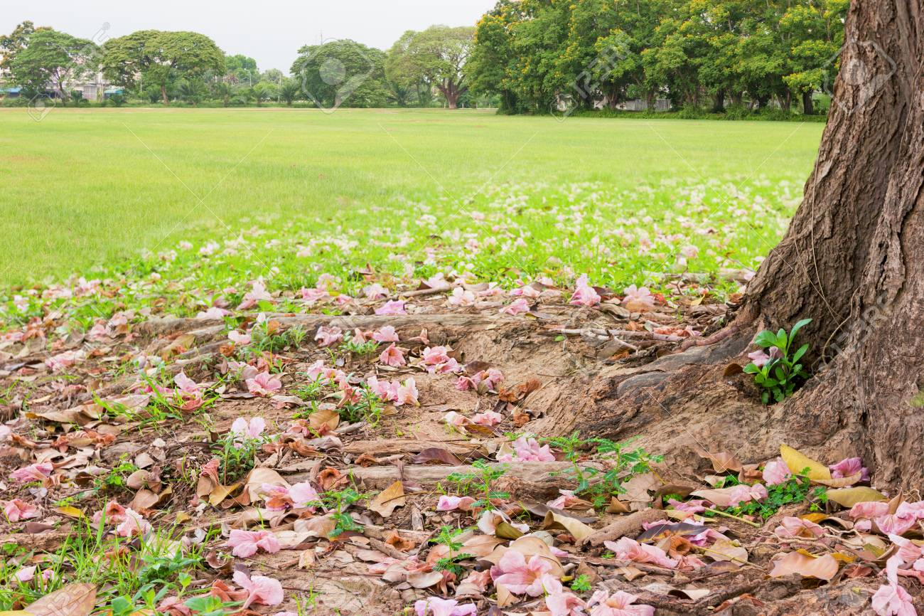 Tree trunk of tabebuia rosea tree with pink flower stock photo stock photo tree trunk of tabebuia rosea tree with pink flower mightylinksfo