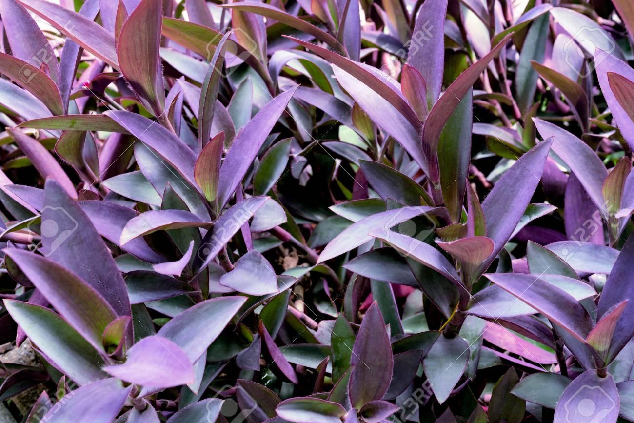 Violet Leaves Pattern Leaf Tradescantia Pallida Or Purple Queen