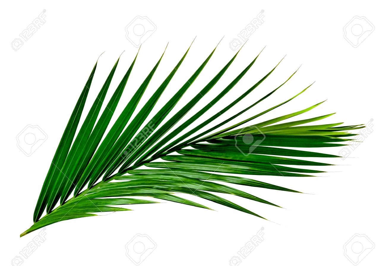 green leaves pattern leaf palm tree isolated on white background