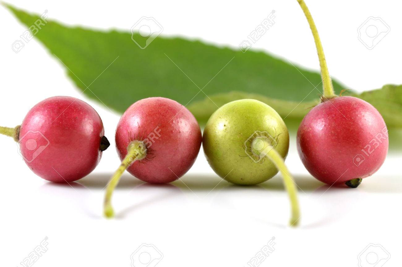 John Starnes' Urban Farm: Jamaican Cherry (Muntingia calabura)
