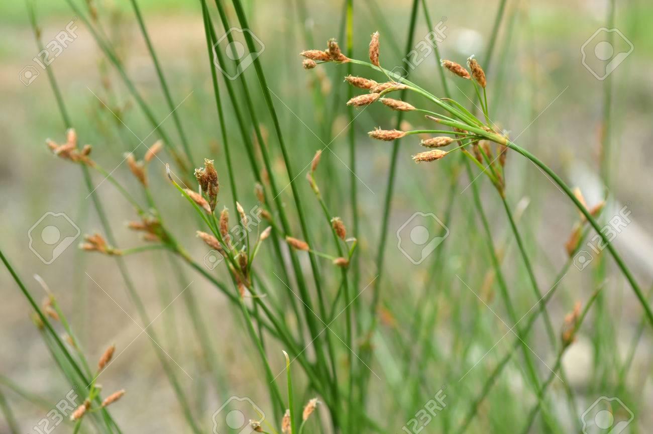 テンツキ属の花テンツキ属 Sp 家...