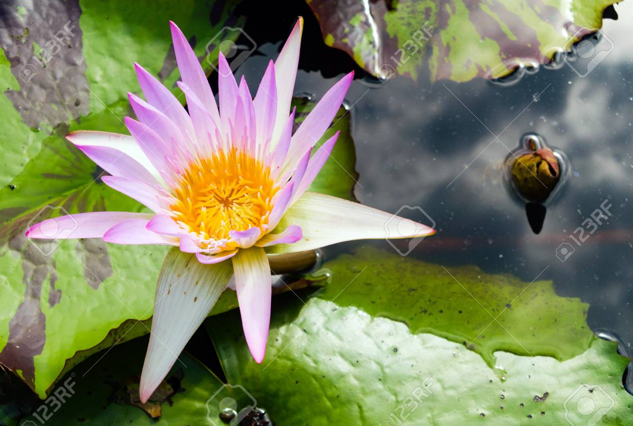 Beautiful lotus flower is complimented by the rich colors stock beautiful lotus flower is complimented by the rich colors stock photo 78246991 izmirmasajfo