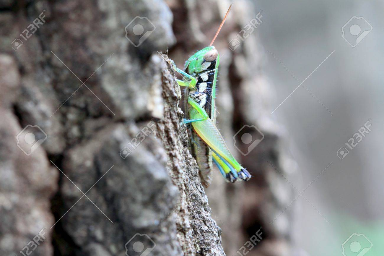 grasshopper Stock Photo - 15429475