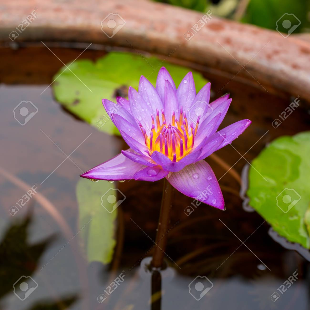 Purple Lotus Flower Opened On A Pond With Yellow Center And