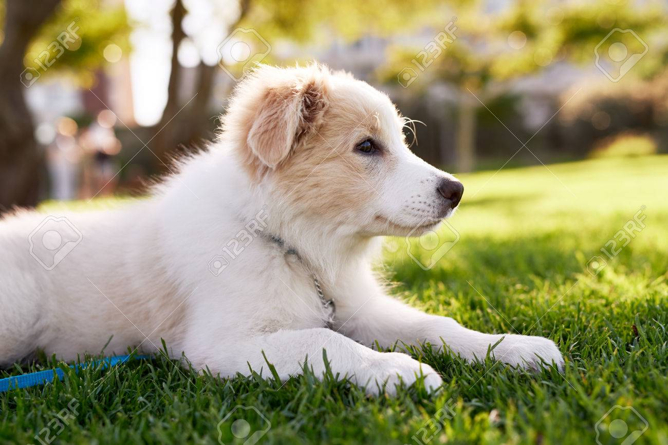 Cool Fluffy Canine Adorable Dog - 80852251-cute-fluffy-border-collie-puppy-in-park-adorable-dog-pet-purebred-canine-pedigree  Pic_252539  .jpg