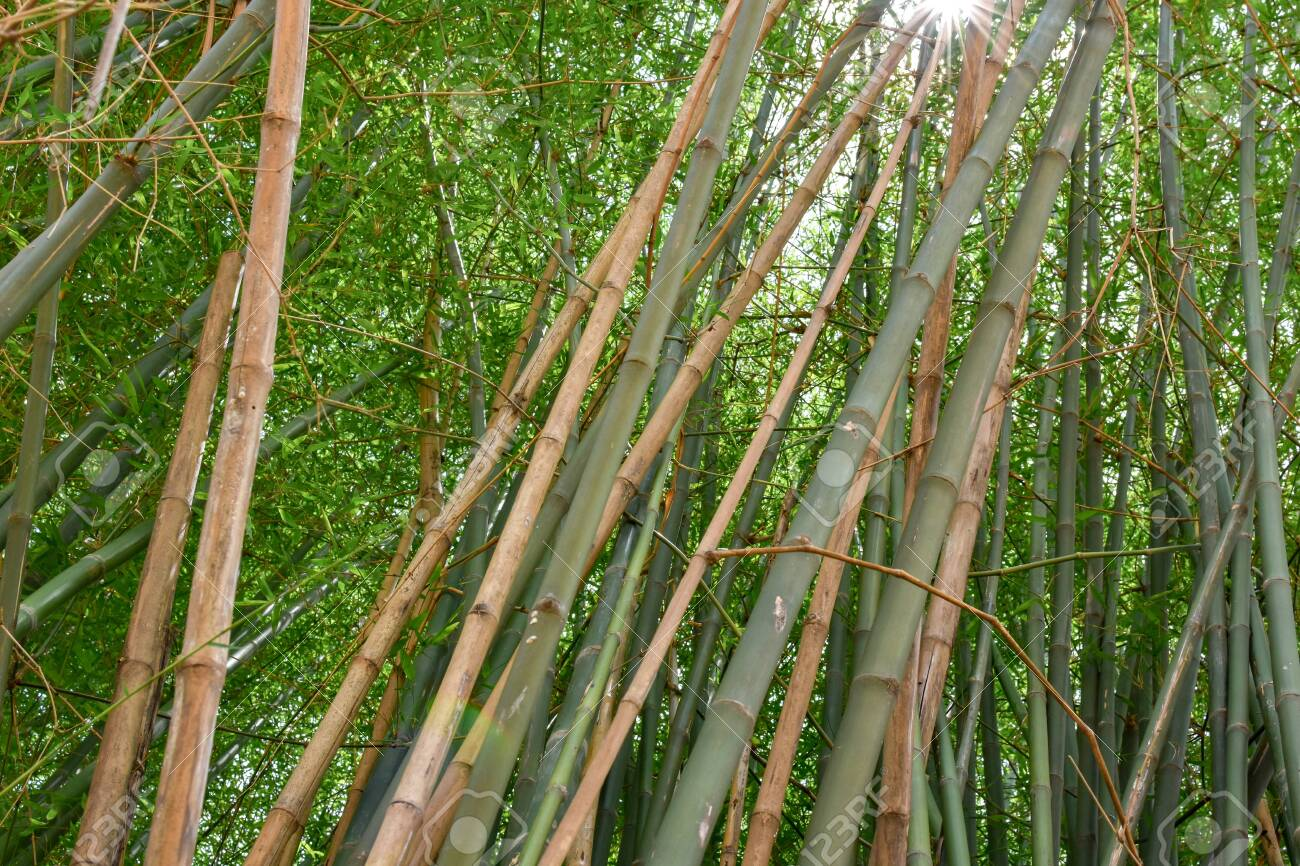 Bamboo Trees From The Farm Stock Photo Picture And Royalty Free