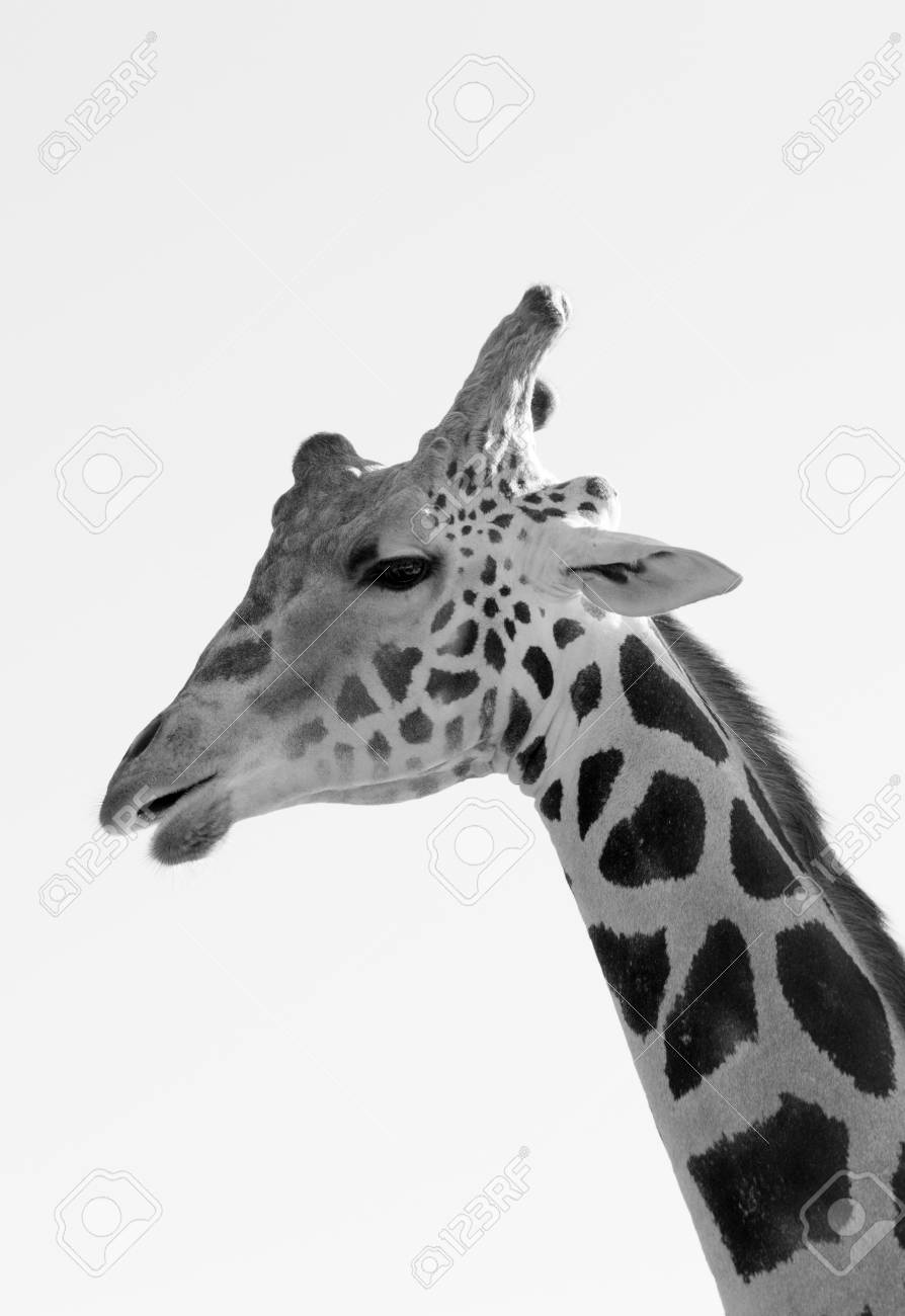 Black and white giraffe close up stock photo 92126894