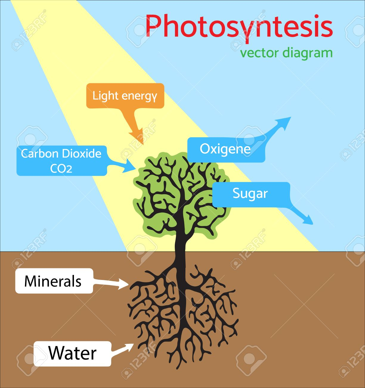 Photosynthesis Diagram. Schematic Illustration Of The Photosynthesis ...