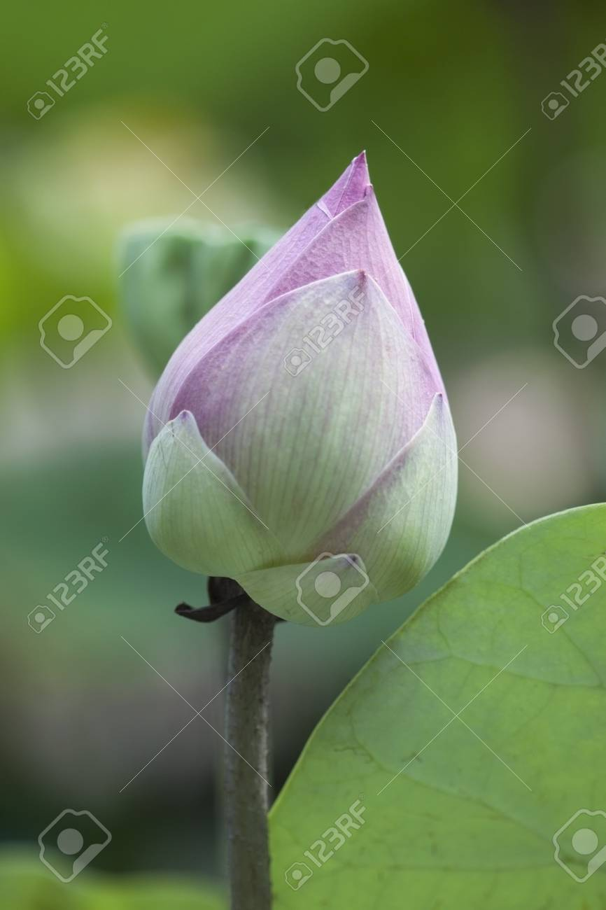 Close Up Of Pink White Lotus Flower Bud With Green Lotus Leaf