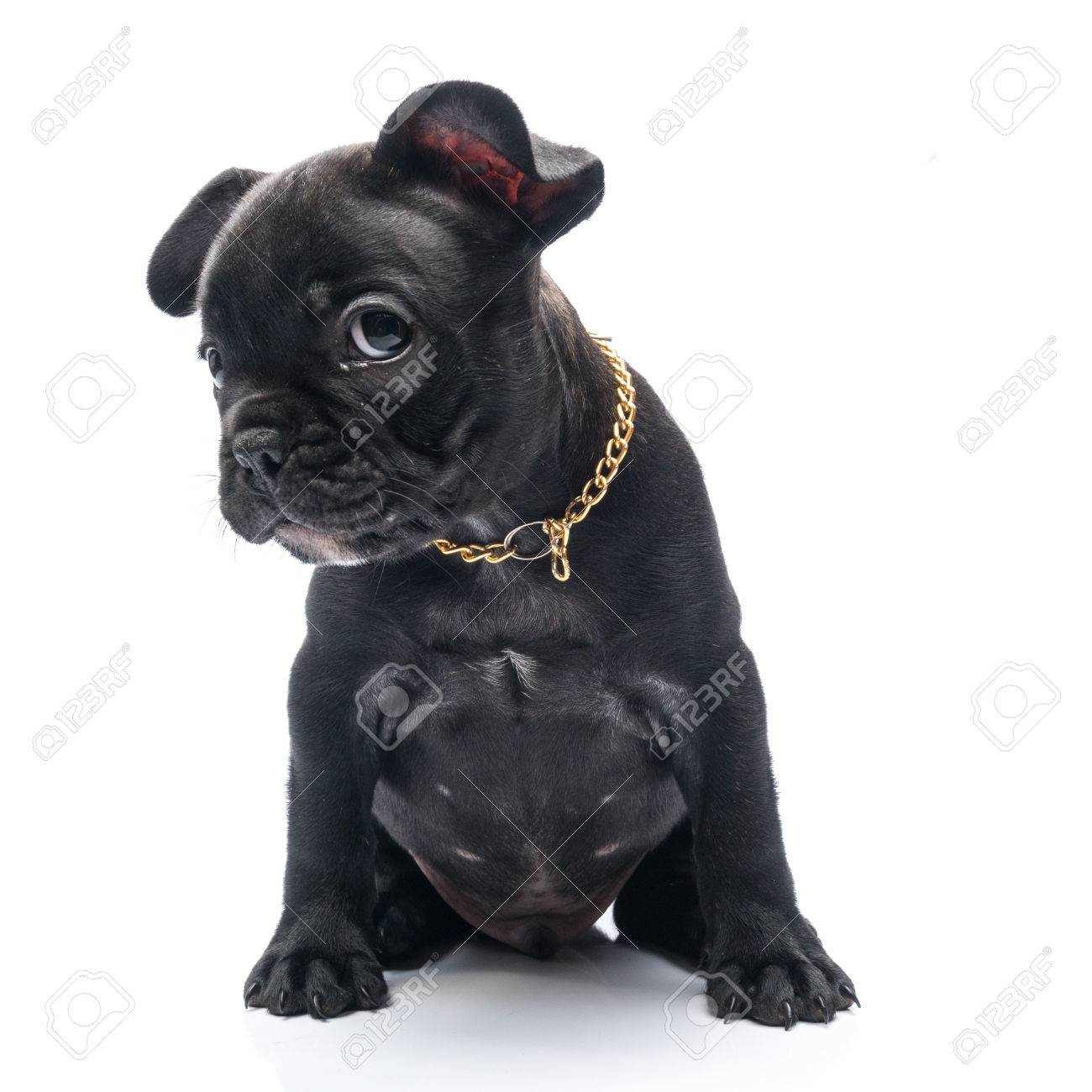 Black Brindle French Bulldog Puppy Stock Photo Picture And Royalty