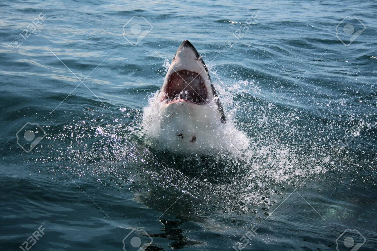 Great White Shark Stock Photo - 10925074