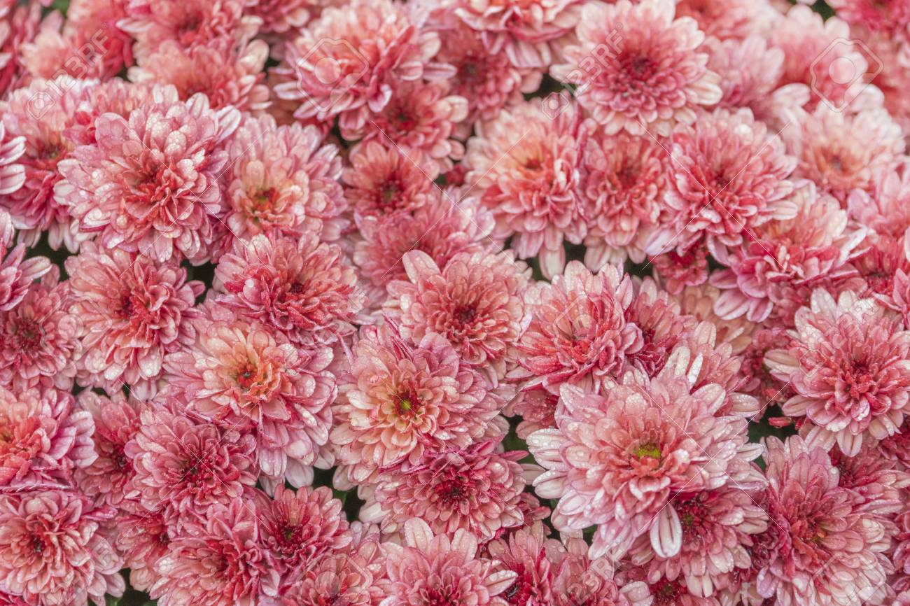 Coral Pink Chrysanthemum Flowers Background Texture Stock Photo