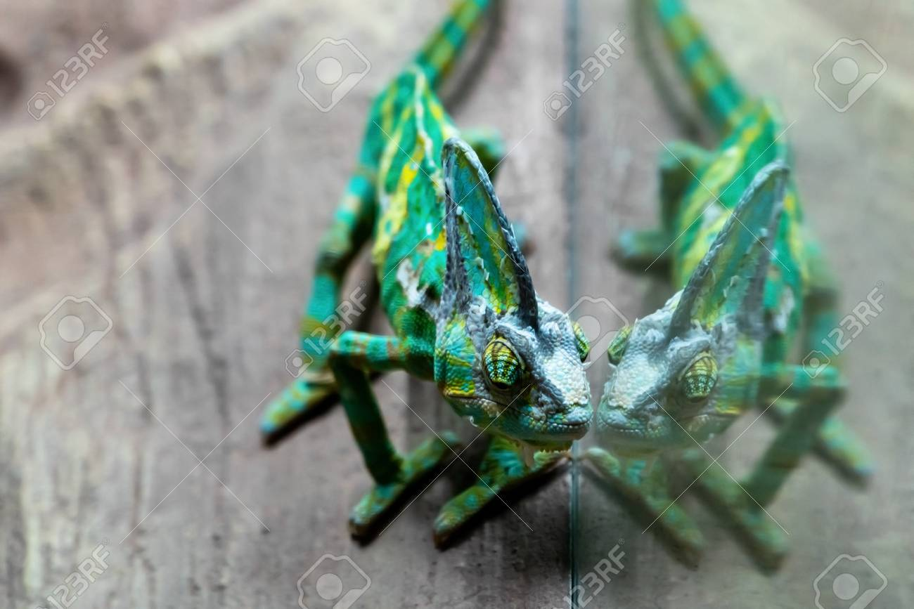 The Green Chameleon Is Reflected In The Terrarium Glass Stock Photo