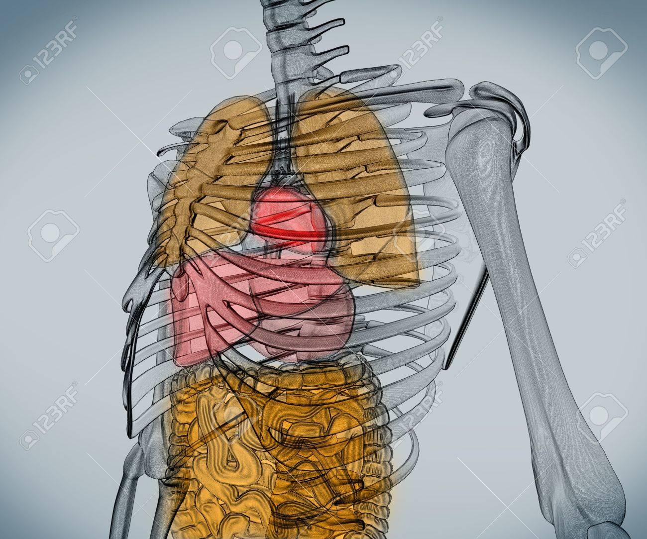 Digital skeleton with visible internal organs Stock Photo - 18116325