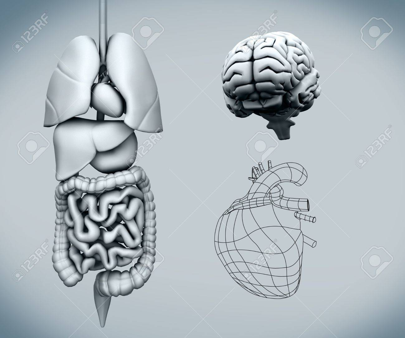 Assembled human organs with the brain against a grey background Stock Photo - 26702156