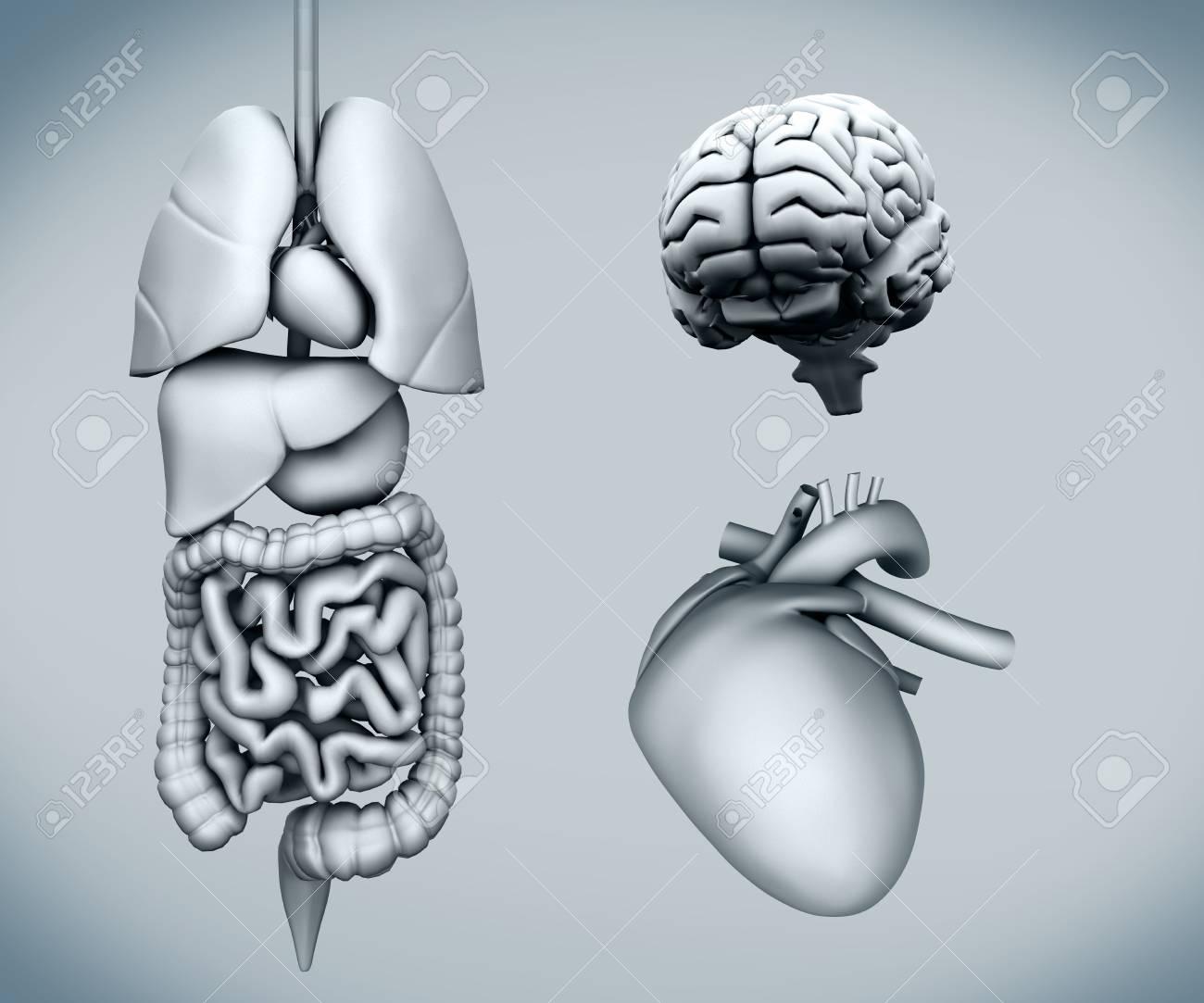 Contemporáneo Diagrama De Localización De órganos Humanos ...