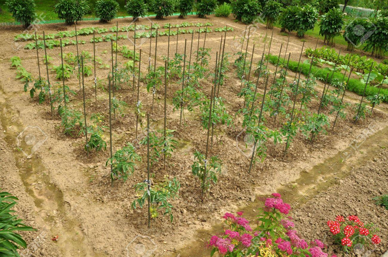 Vegetable garden rows - Plants In Rows In The Vegetable Garden Stock Photo 7375677