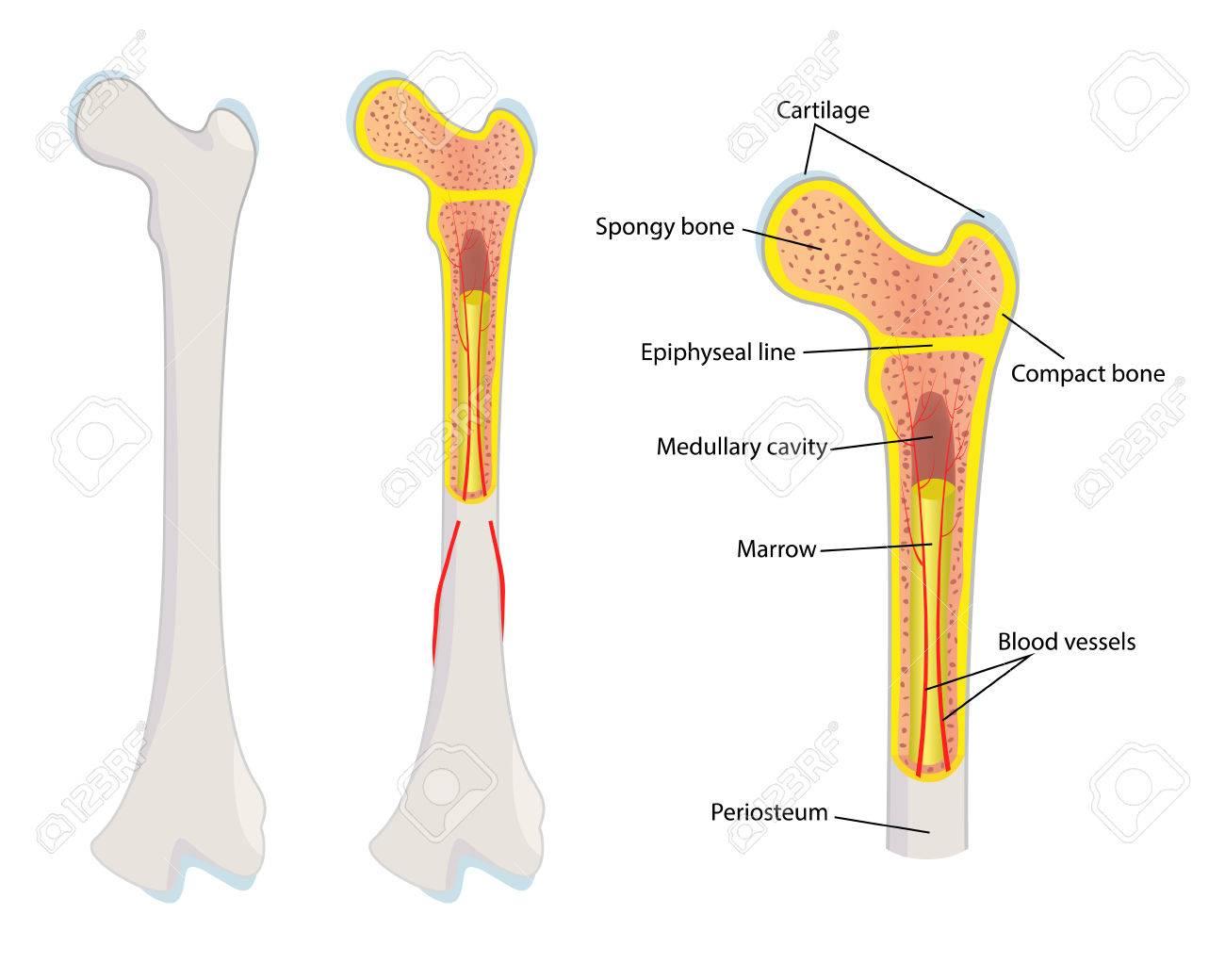 Anatomía ósea Humana, Ilustración Ilustraciones Vectoriales, Clip ...