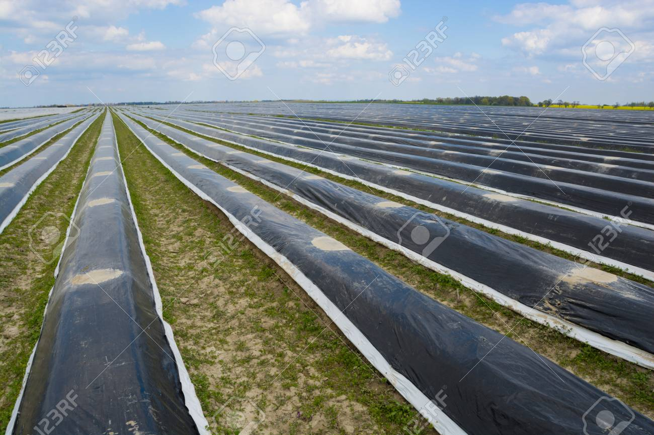 Asparagus field - 57463802