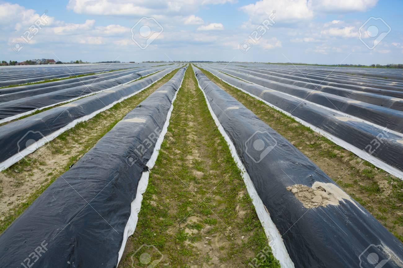 Asparagus field - 57463801