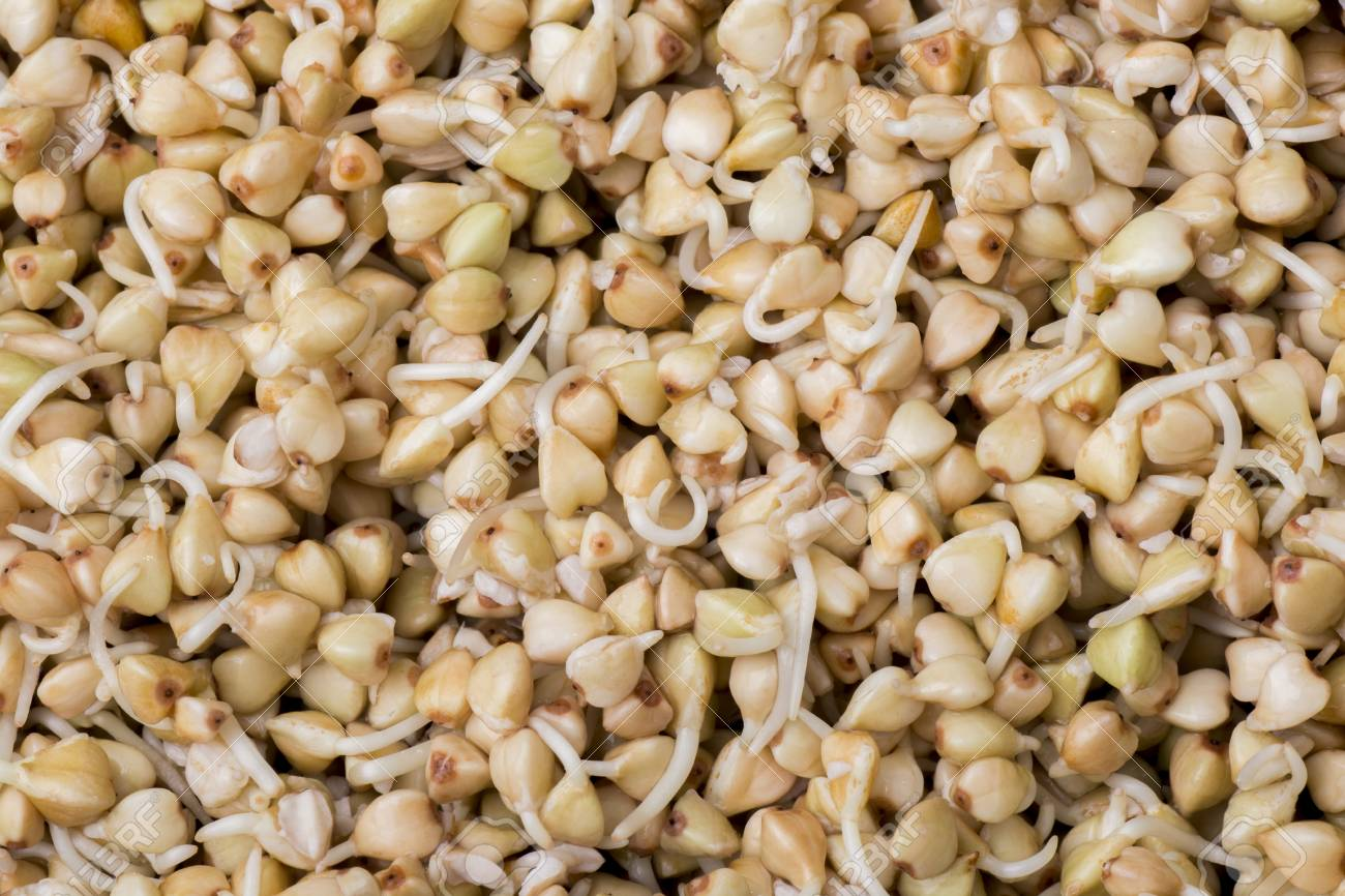 Sprouts of buckwheat groats as a background - 60070053
