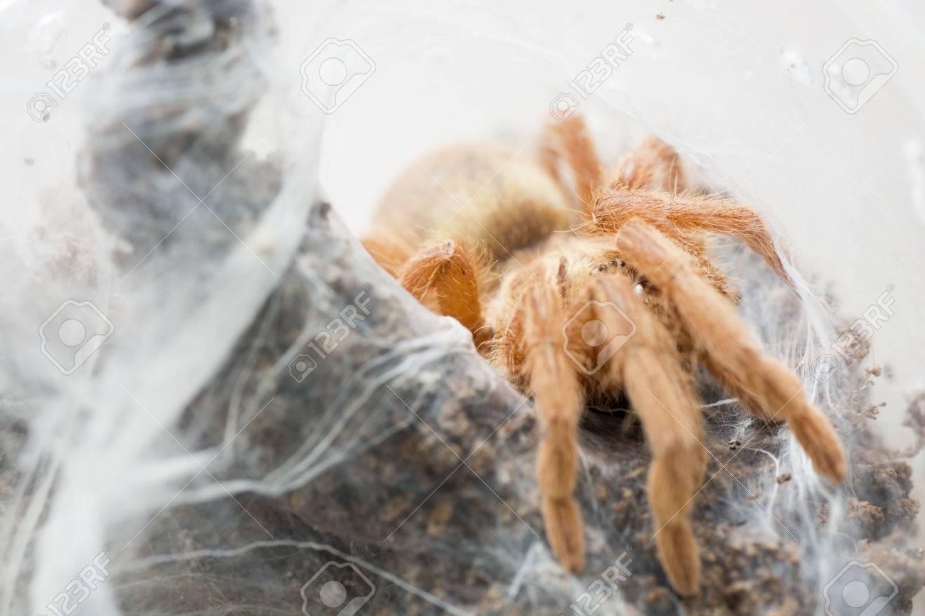 Tarantula Neoholothele (Holothele) incei gold on the web - 60070056