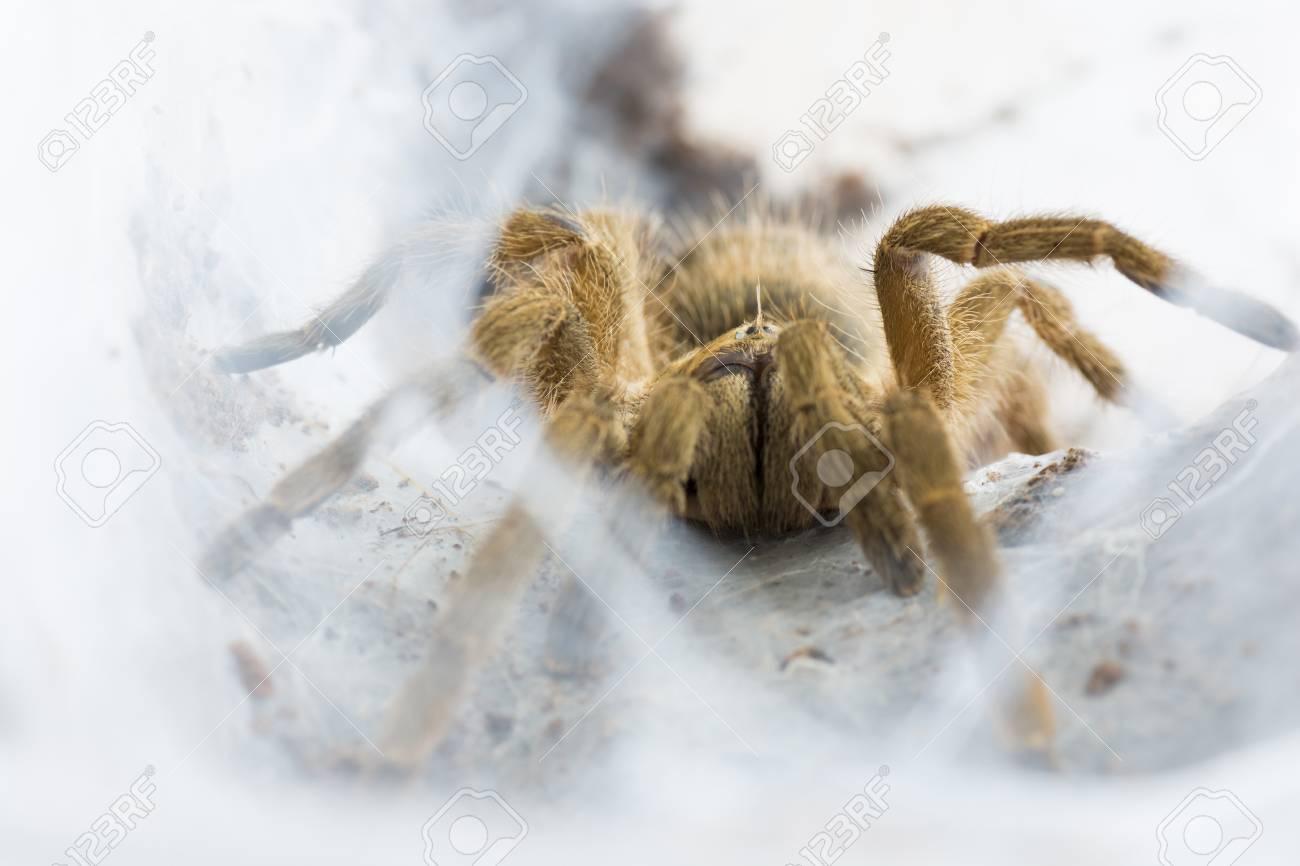 Tarantula Neoholothele (Holothele) incei on the web - 60070062