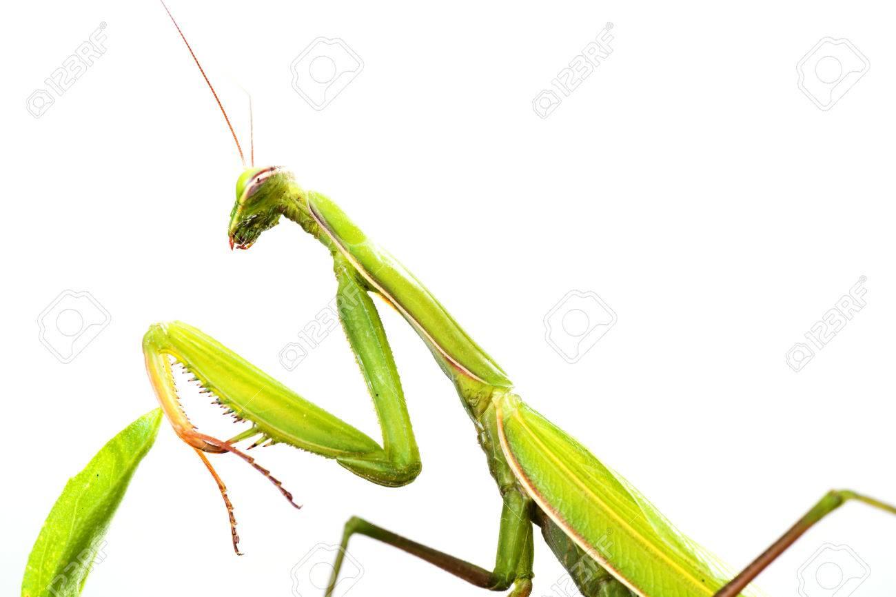 European Mantis or Praying Mantis, Mantis religiosa, on plant. Isolated on white background - 64464720