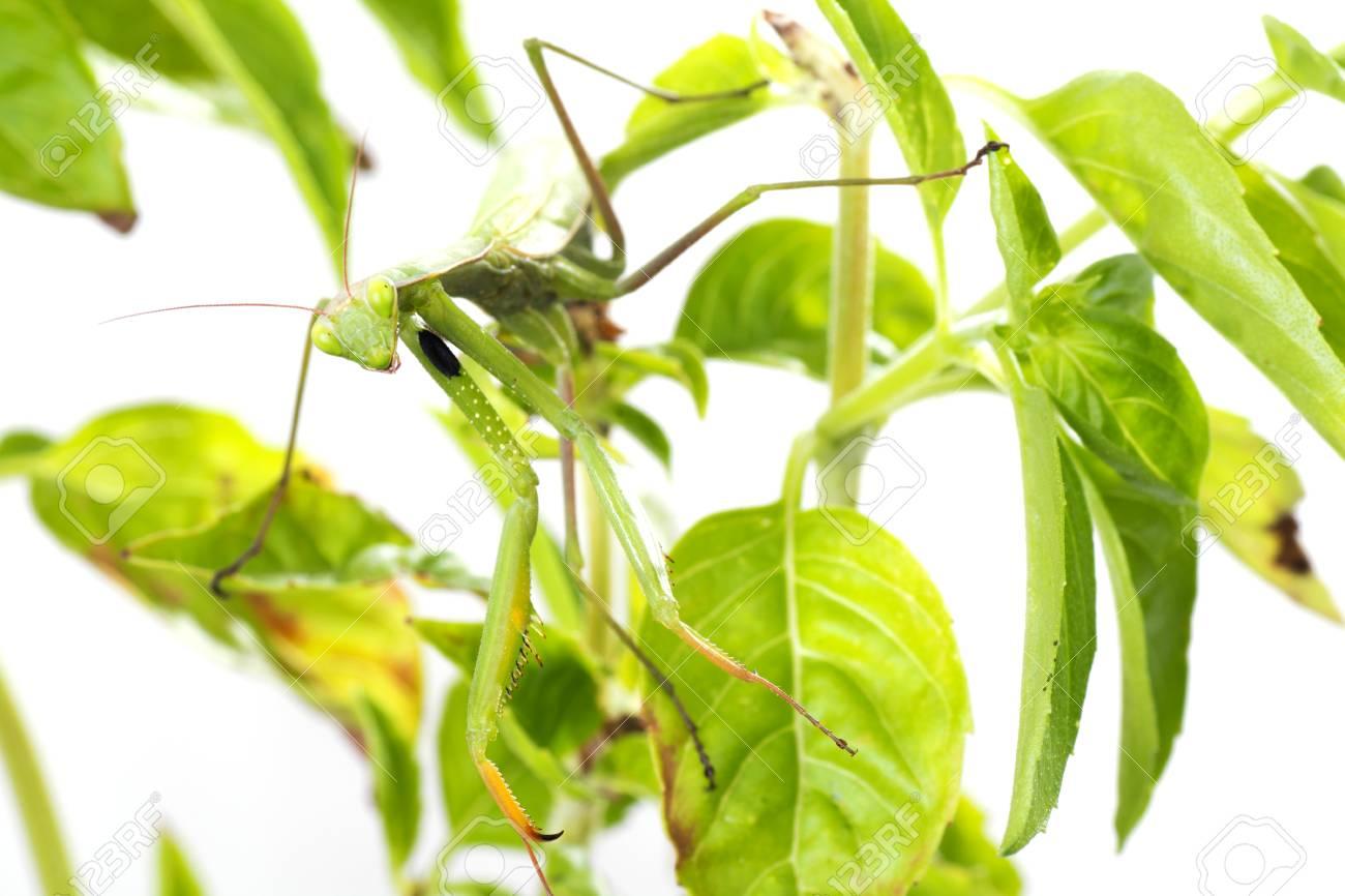 European Mantis or Praying Mantis, Mantis religiosa, on plant. Isolated on white background - 64464740
