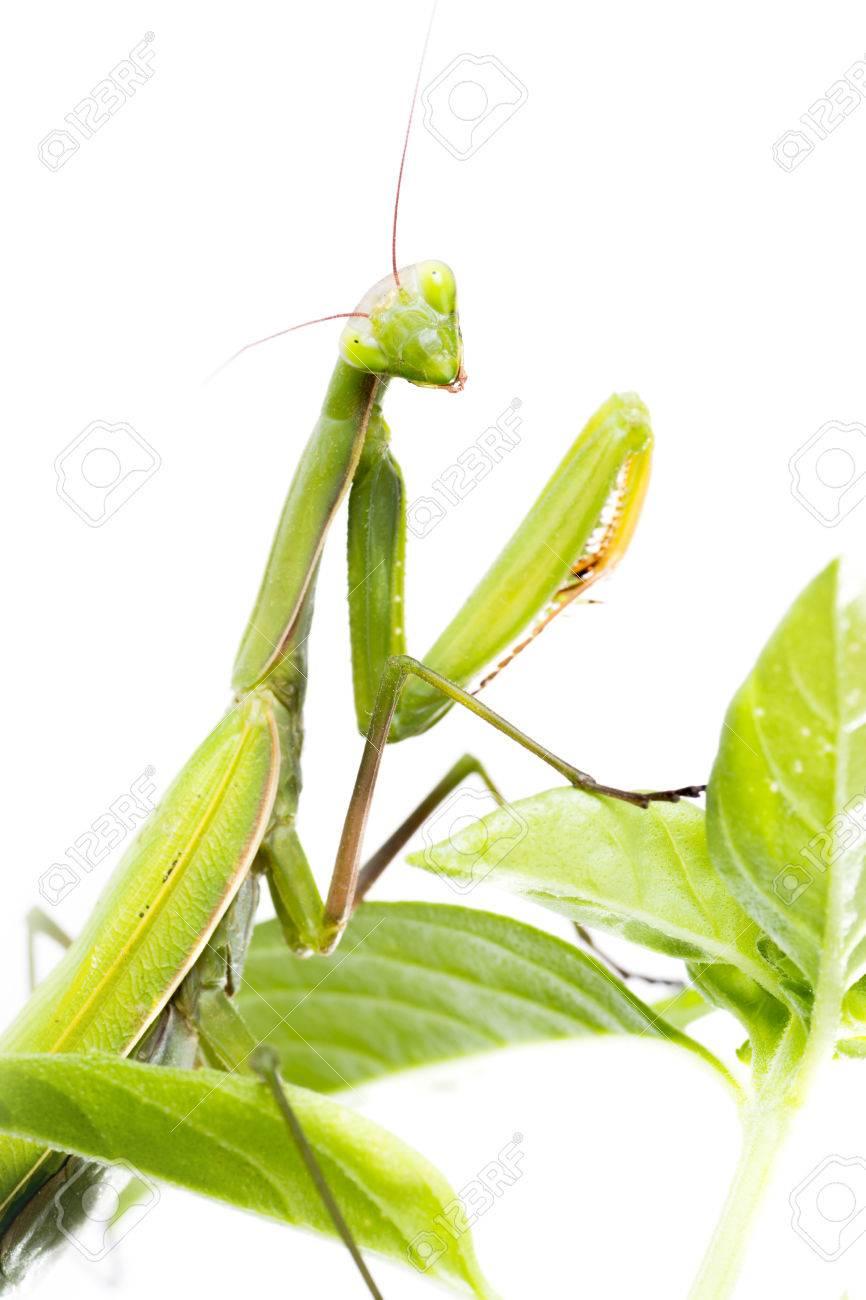 European Mantis or Praying Mantis, Mantis religiosa, on plant. Isolated on white background - 64464765