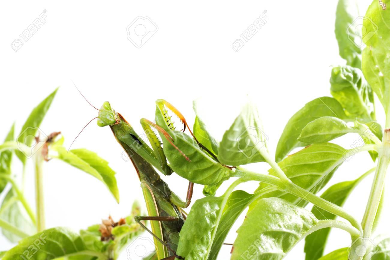European Mantis or Praying Mantis, Mantis religiosa, on plant. Isolated on white background - 64464789