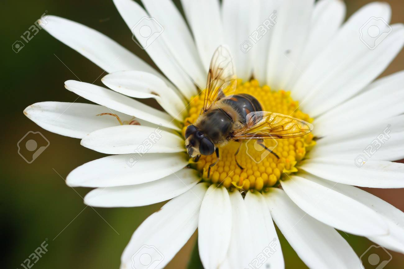 Closeup Of A Fly On A Daisy Like Flower In Madeira Stock Photo