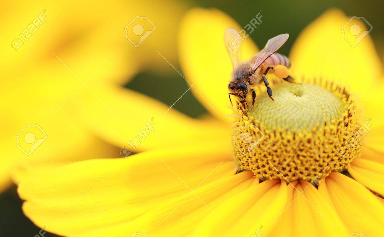 Close-up photo of a Western Honey Bee (Apis mellifera) gathering nectar and spreading pollen on a young Black-eyed Susan (Rudbeckia hirta). Stock Photo - 7623244