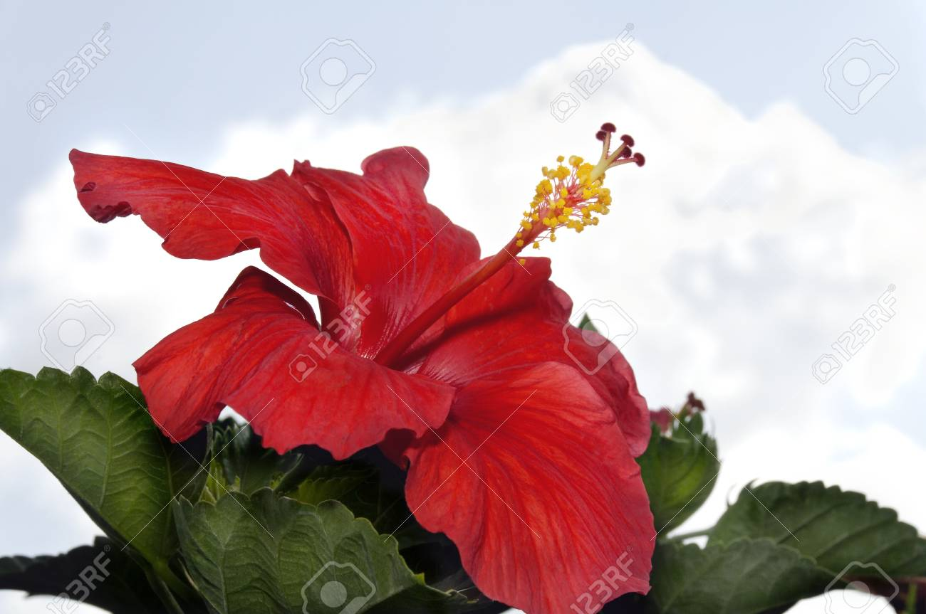 Deep Red Hibiscus Flower With Green Leaves And Clouds In The Stock