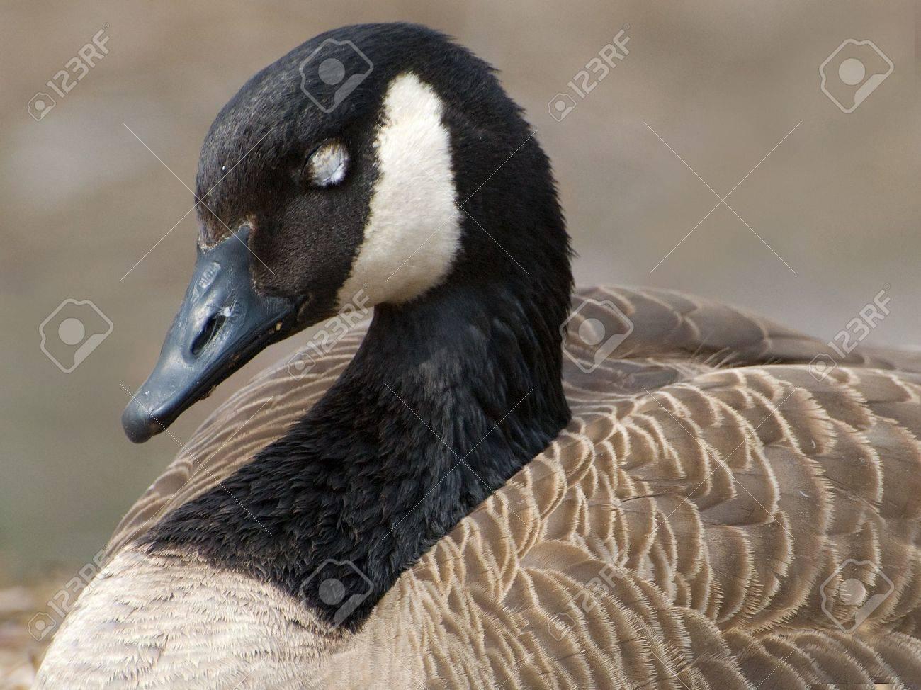 Goose stocks canada goose branta canadensis mother protecting eggs on nest new york canada goose stocks biocorpaavc Gallery